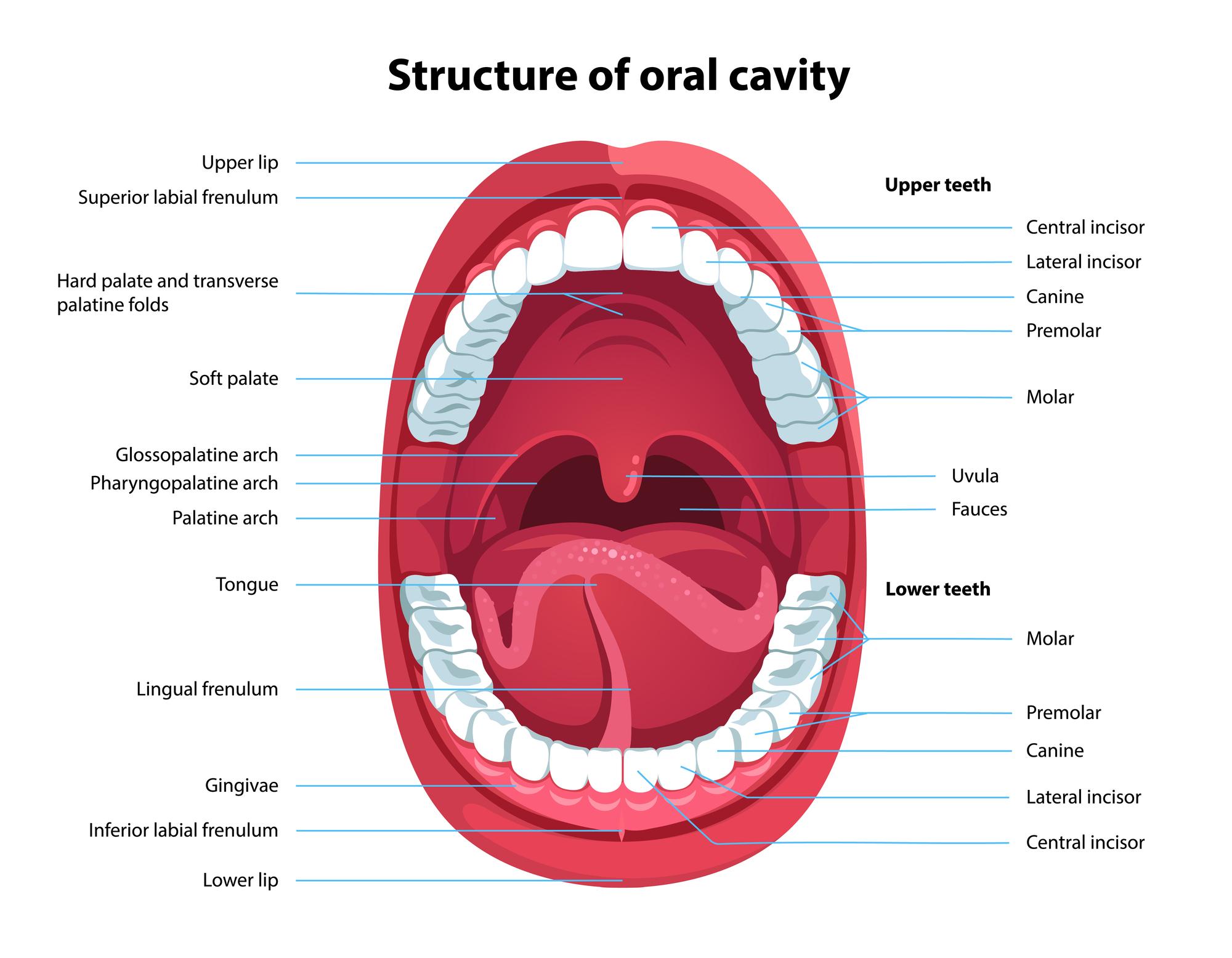 functions of the teeth